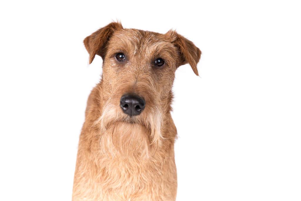 Dog-Irish_Terrier-The_characteristic_wiry,_blonde_beard_of_an_Irish_Terrier